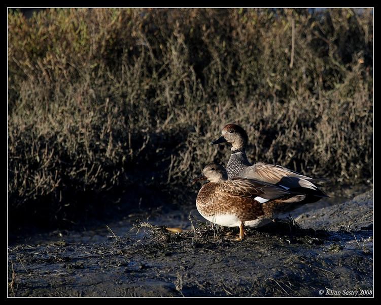 Gadwalls, San Elijo Lagoon, Rios Ave, San Diego County, California, December 2008