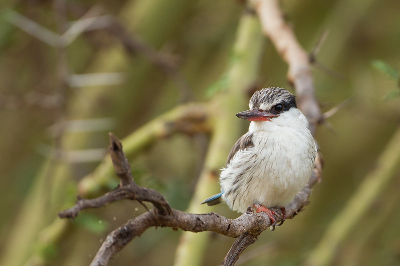 Striped Kingfisher - Lake Manyara National Park, Tanzania