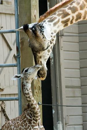 Baby Giraffe - Neema