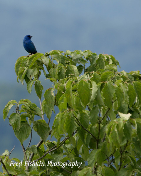 skyline bluebird 2.jpg