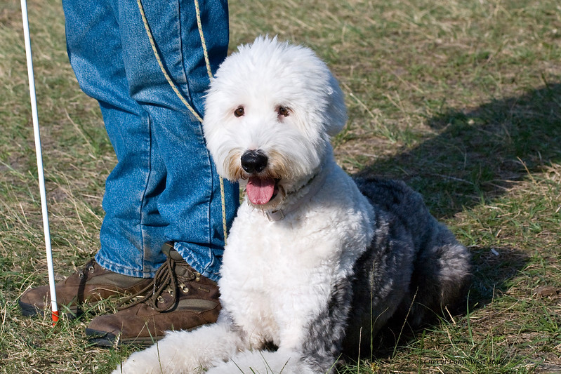 #406 - Digby, an Old English Sheepdog, qualified on the HRD I course.  He is owned by Chris Burrough.