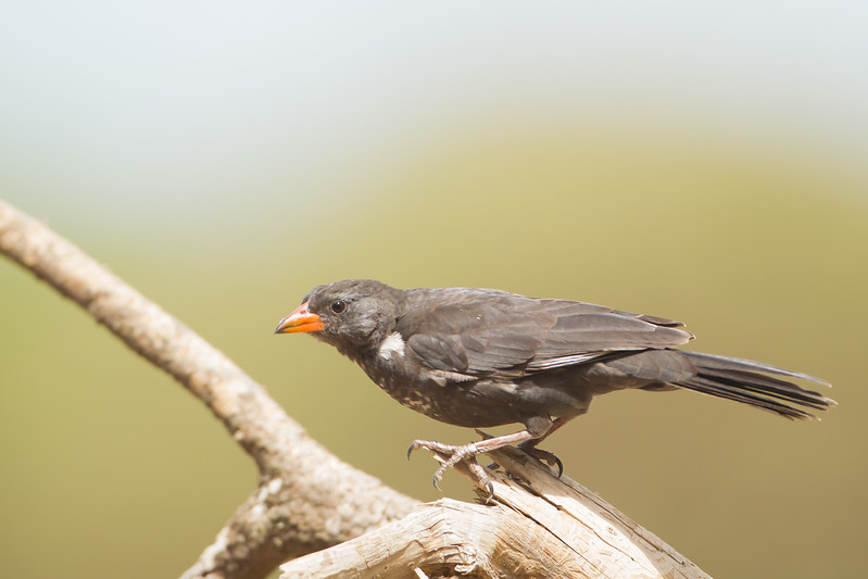 Red-billed Buffalo Weaver - Nabi Hill, Serengeti National Park, Tanzania