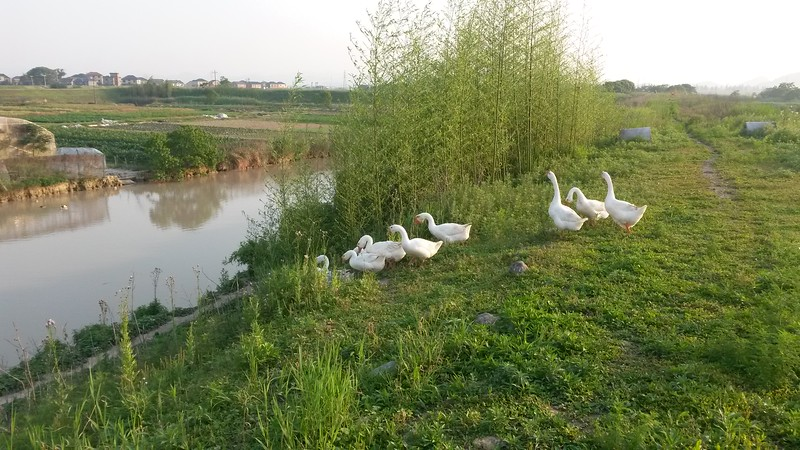 Geese on Mr. Young's farm outside of Hangzhou