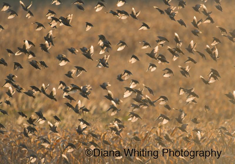 Starlings Backlit.jpg