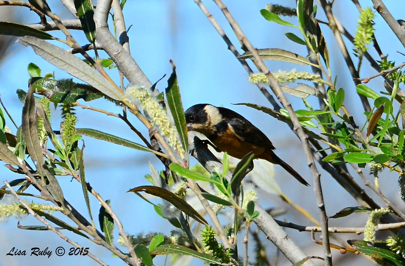 White-collared Seedeater - 2/15/15 - Dairy Mart