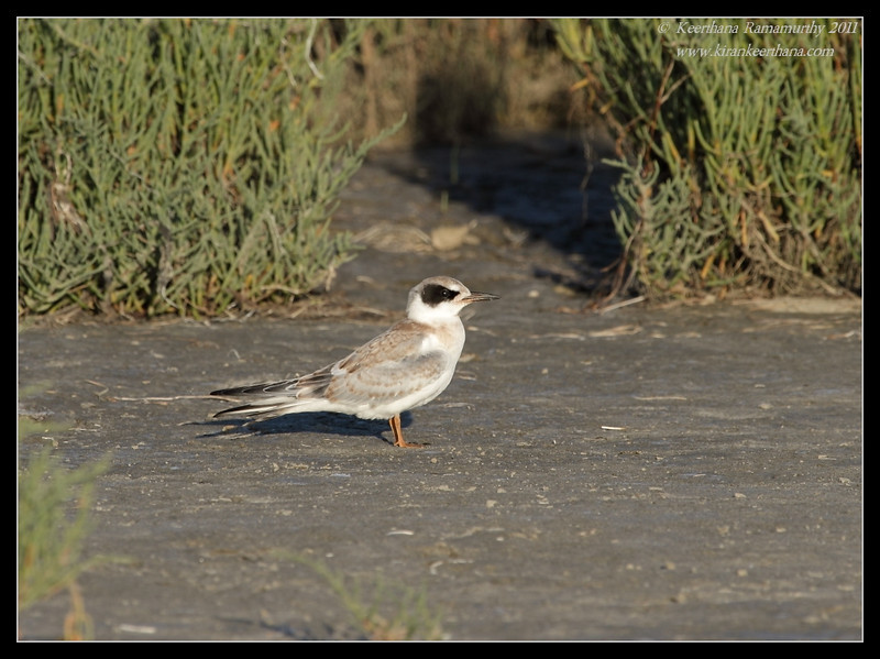 Juvenile Forster's Tern, Robb Field, San Diego River, San Diego County, California, July 2011