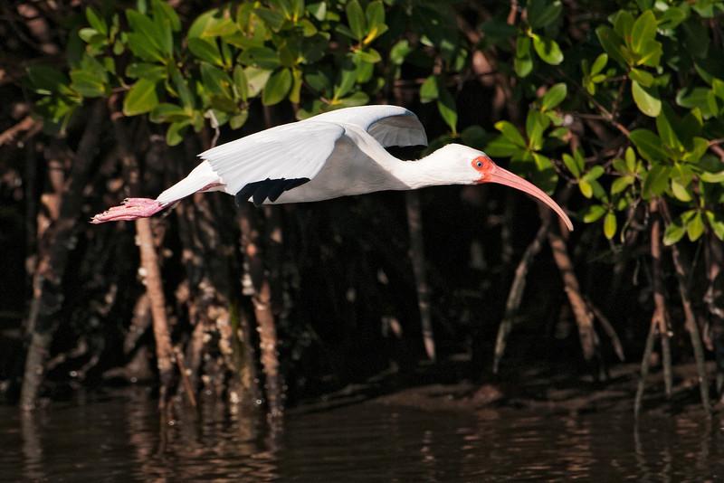 Ibis - White - Ding Darling NWR - Sanibel, FL - 06