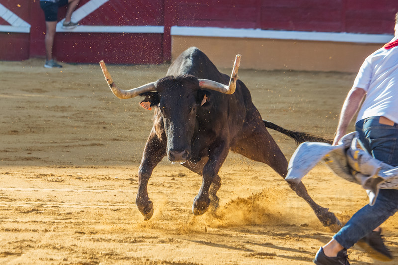 Toro in bullring. Tudela, Spain