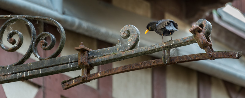 Common/Eurasian Blackbird