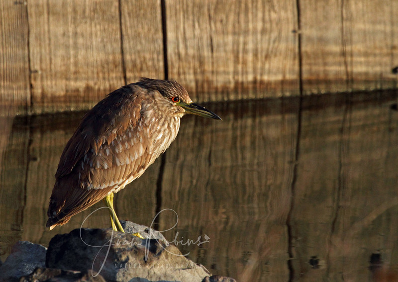 Handsome young Night Heron