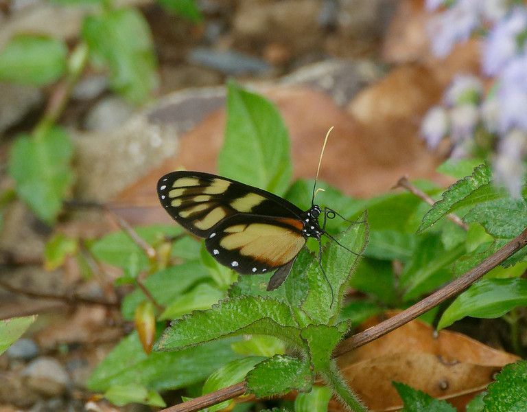 One of the many Long Wing butterflies