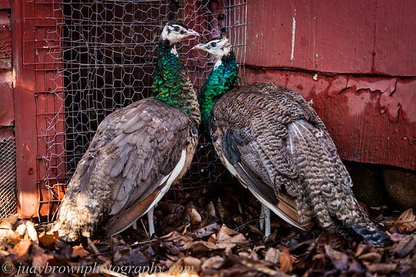 170101 peacocks gobnait nuala