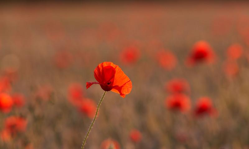Poppy - 2543.jpg