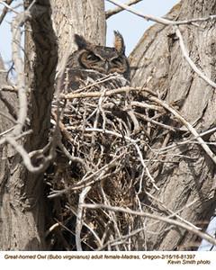 Great Horned Owl F81397.jpg