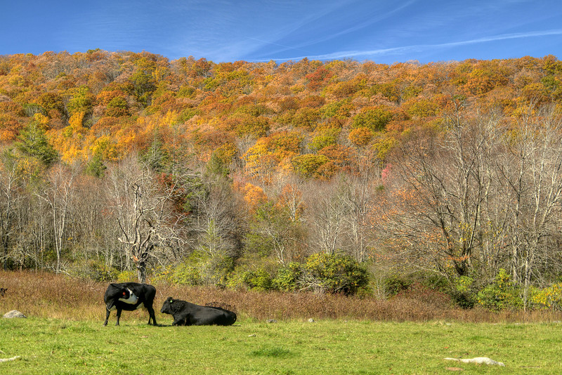 A couple of cows lounge in a field with a view of brilliant fall colors along Laurel Valley Road in Troutdale, VA on Sunday, October 19, 2014. Copyright 2014 Jason Barnette