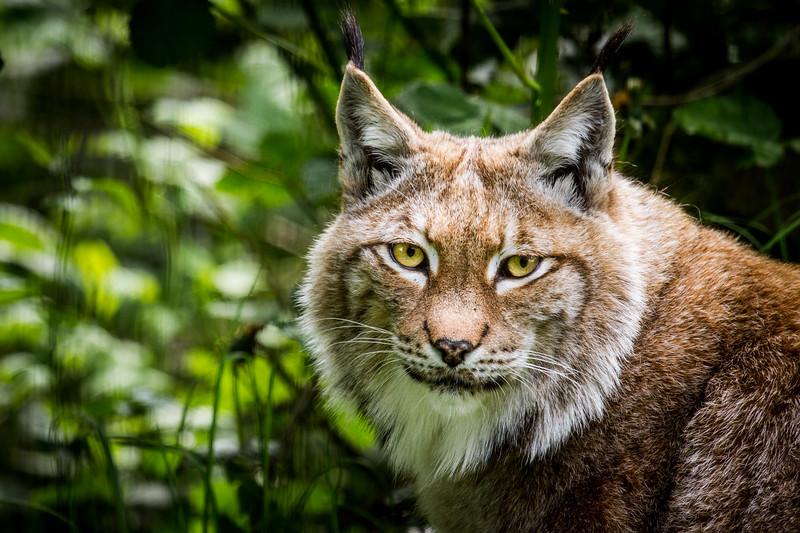 Scandinavian Lynx