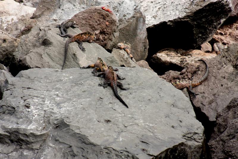 Marine Iguana Budding Heads : Journey into Genovesa Island in the Galapagos Archipelago