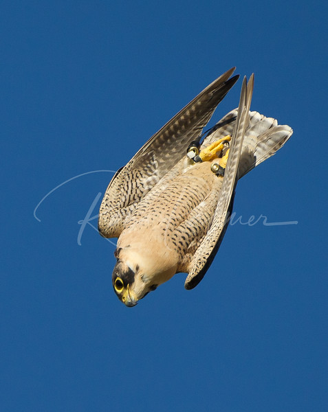 Peregrine Falcon in a Dive (c)