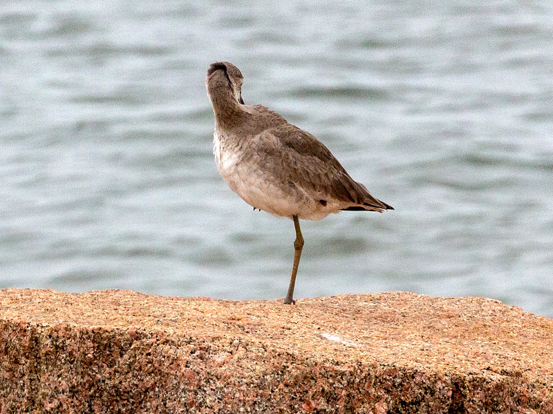 ... and another resting Willet