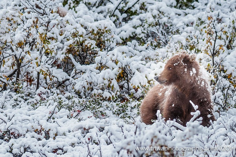 Grizzly Bear Cub in the Autumn Snowfall Denali National Park Alaska © 2014