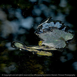 015-leaf_floating-wdsm-18oct16-12x12-006-6379