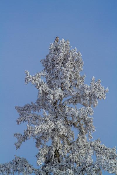 Northern Hawk Owl in frosty spruce Overton Road and Arkola-CR52 Sax-Zim Bog MN  IMG_0068.jpg