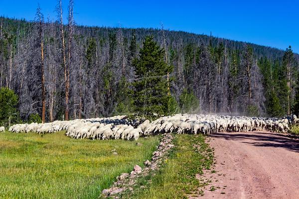 Sheep on the Range
