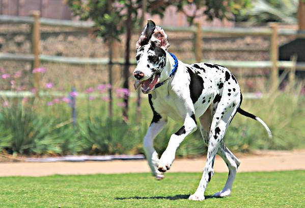 2016 07 11 Stella at Maggie Houlihan Dog Park