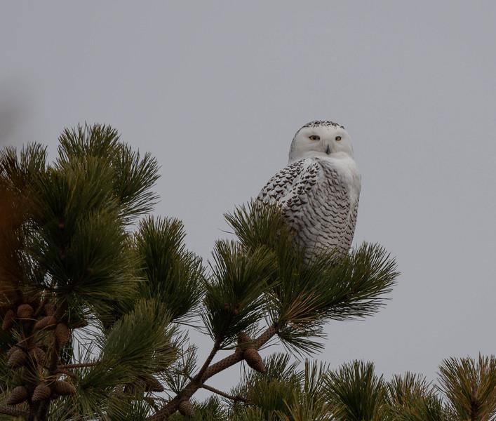 _5008990 Snowy Owl webcover.jpg