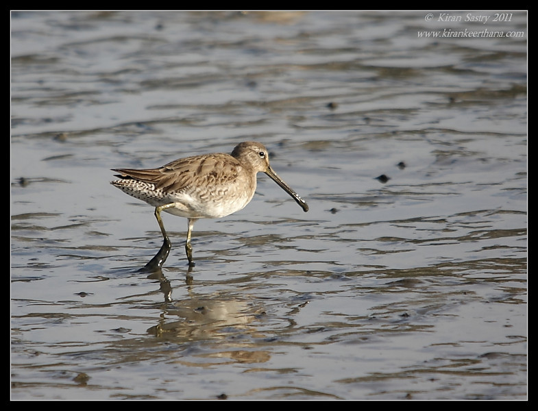 Short-Billed Dowitcher, San Elijo Lagoon, San Diego County, California, February 2011