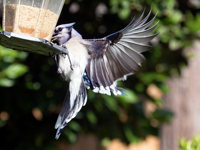 bluejaywingstructure.jpg