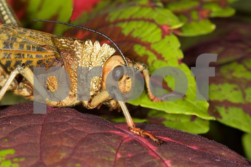 Giant Grasshopper