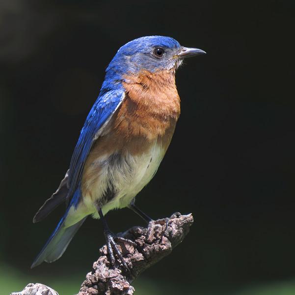 sx50_bluebird_ben_boas_131.jpg