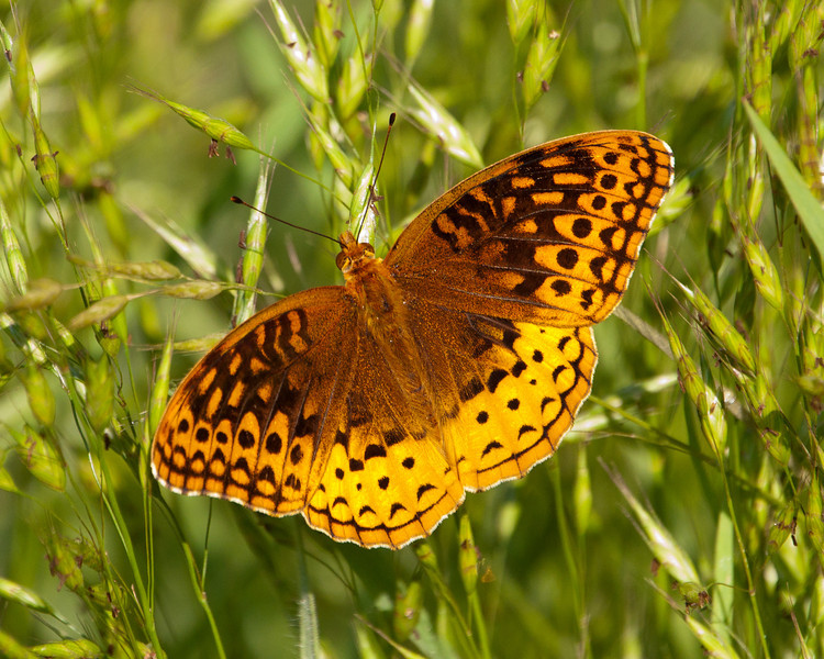 Great Spangled Fritillary (f) - Speyeria cybele - SC7503 - Males are Orangey overall.