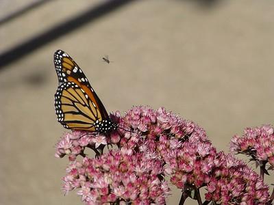 Butterfly w bee series