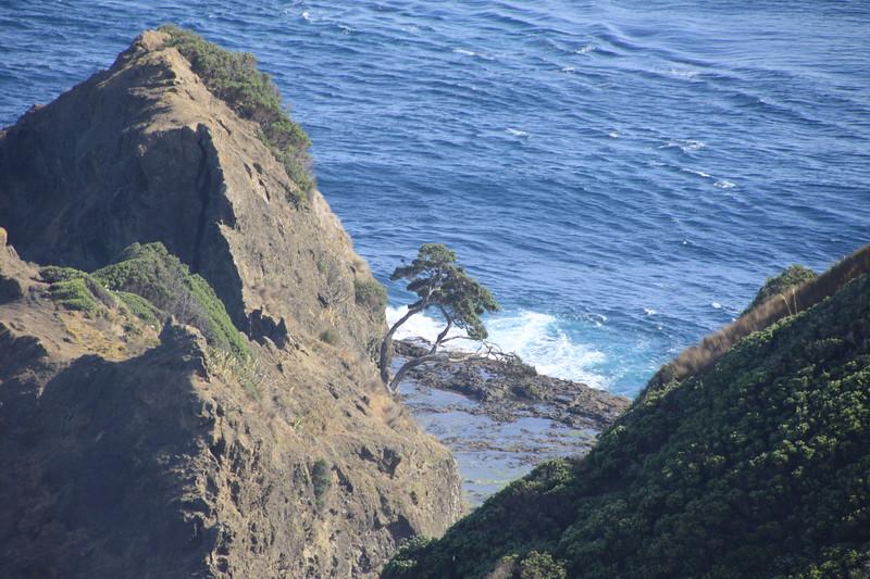 Important tree to Maoris