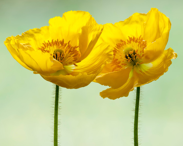 icelandic-poppies.jpg