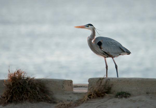 Great Blue Heron_DWL5332.jpg