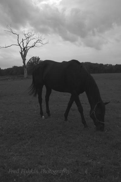 Horse Tree bw.jpg