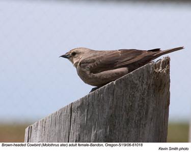 BrownHeadedCowbirdF61018.jpg