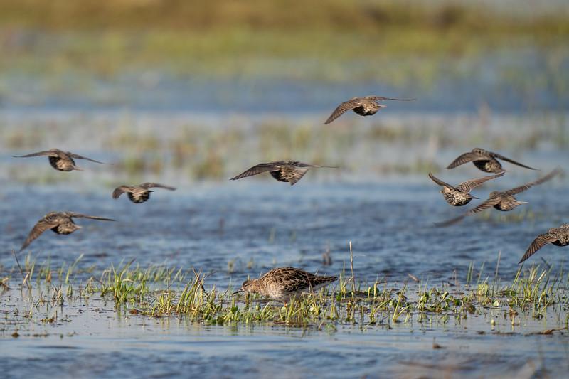 batalion | ruff | philomachus pugnax + szpak | common starling | sturnus vulgaris
