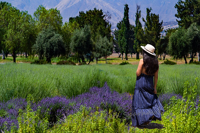A Walk in the Lavender