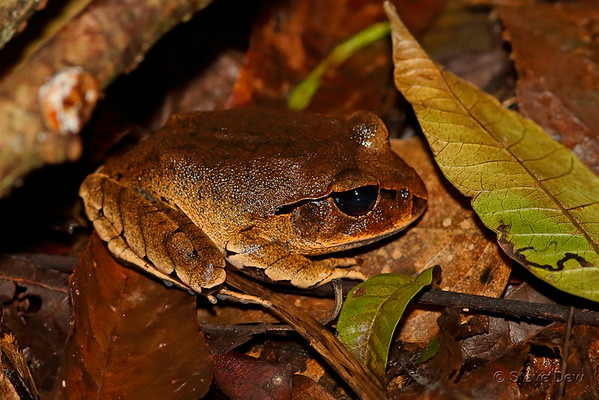 Great Barred Frog