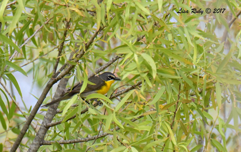 Yellow-breasted Chat - 6/11/-2017 - Lake Hodges, Bernardo Bay Trail