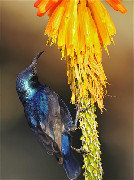 Looking for nectar....Purple Sunbird ( breeding plumage )