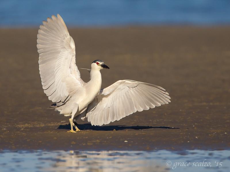 Black-crowned Night Heron Landing