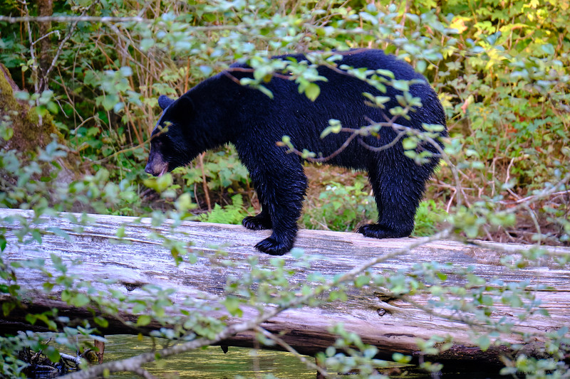 Sea to Sky Black Bears 27.jpg