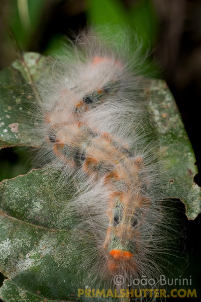 Stinging caterpillar (Lasiocampidae) in Intervales State Park, Brazil, a south-east atlantic forest reserve, UNESCO World Heritage Site.