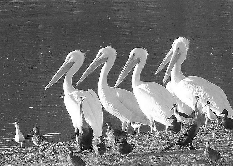 Pelicans Las Gallinas