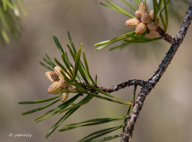pine 050118.jpg
